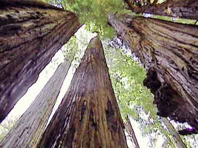 The Day of the Redwoods is Coming
